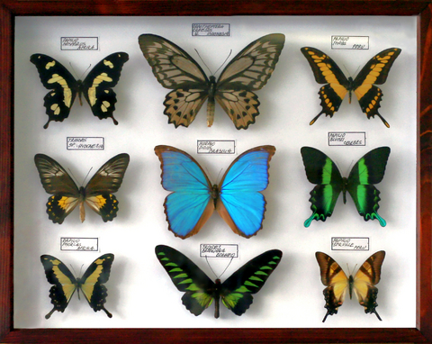 dreamstime_3611961butterflycollection